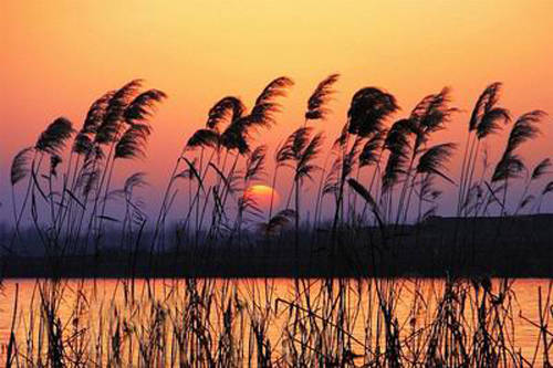 百里苇海,芦花飞雪,白洋淀的秋天将美成这样!